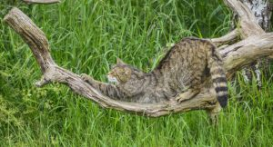 Рідкісна кішка Поділля